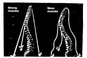 Core Muscles should support the Spine